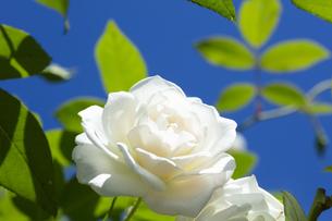 白いバラの花の写真素材 [FYI04602121]