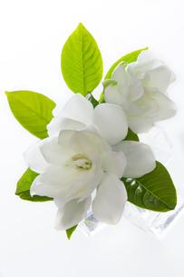 クチナシの花の写真素材 [FYI04602280]