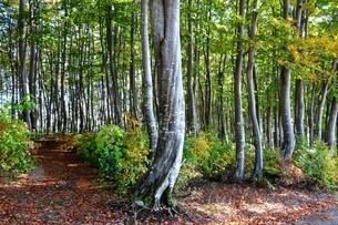 ブナの原生林の写真素材 [FYI04602573]