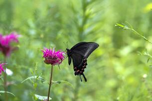 モナルダの花の蜜を吸うミヤマカラスアゲハの写真素材 [FYI04602686]