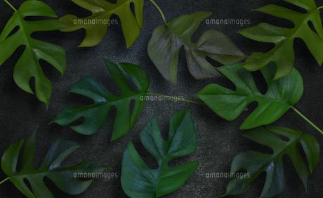 コンクリート背景とモンステラの植物フレームグラフィックスの写真素材 [FYI04602811]