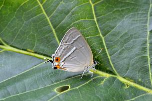 ヒロオビミドリシジミの雌(岡山県・新見市)の写真素材 [FYI04602953]