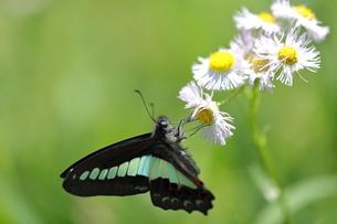 ハルジオンの花の蜜を吸うアオスジアゲハの写真素材 [FYI04603061]