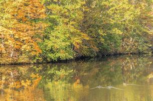 鏡池と紅葉と水鳥 長野県戸隠の写真素材 [FYI04603113]