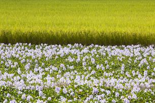 ホテイアオイの花と田んぼの写真素材 [FYI04603334]