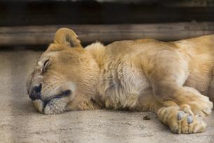 昼寝中のライオンの牝の写真素材 [FYI04603341]