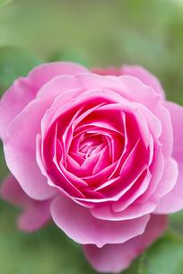 ピンクのバラの写真素材 [FYI04603349]