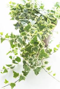 鉢植えのアイビーの写真素材 [FYI04603403]