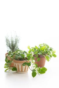 鉢植えのポトスとローズマリーの写真素材 [FYI04603406]