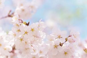 桜の写真素材 [FYI04603423]