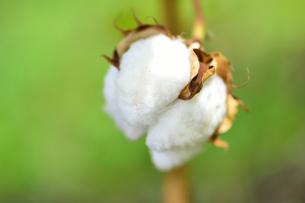 綿の写真素材 [FYI04603432]