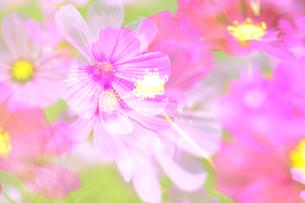 コスモスの花の写真素材 [FYI04603473]