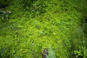 尾瀬の苔の写真素材 [FYI04603580]