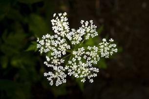 尾瀬沼に咲く花の写真素材 [FYI04603617]