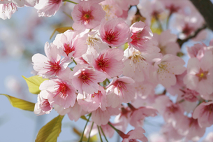 河津桜の写真素材 [FYI04603646]