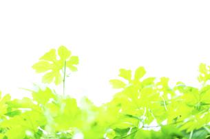 ゴーヤの葉の写真素材 [FYI04604136]