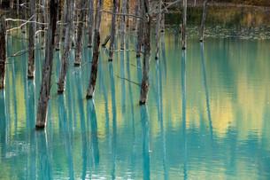 秋の黄葉を映す青い池の水面の写真素材 [FYI04604484]