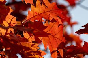 赤く色づいたアカナラの葉の写真素材 [FYI04604486]