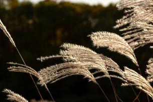 夕日に輝くススキの穂の写真素材 [FYI04604487]