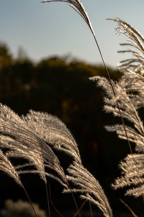 夕日に輝くススキの穂の写真素材 [FYI04604488]