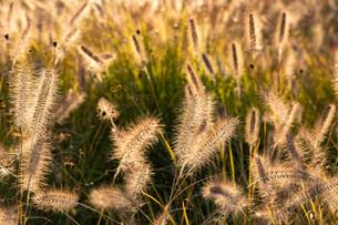 夕日に輝くキンエノコログサの穂の写真素材 [FYI04604489]