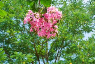 百日紅の花の写真素材 [FYI04604565]