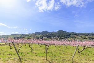 耳納連山と梅の花 福岡県うきは市の写真素材 [FYI04604615]