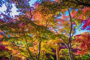 快晴の中の紅葉 けいはんな記念公園の写真素材 [FYI04604724]