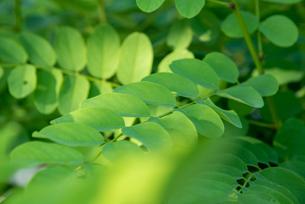植物の葉の写真素材 [FYI04604739]