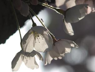 桜の写真素材 [FYI04604840]