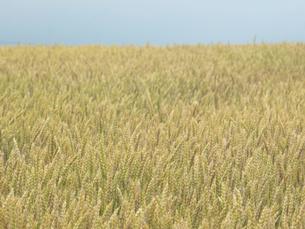 麦畑の写真素材 [FYI04604850]