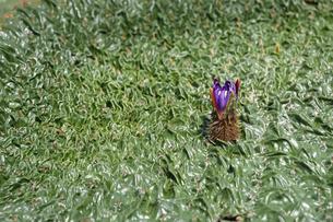 オニバスの花の写真素材 [FYI04605059]