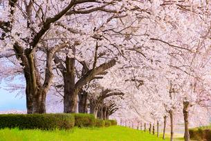 桜のトンネルの写真素材 [FYI04605067]