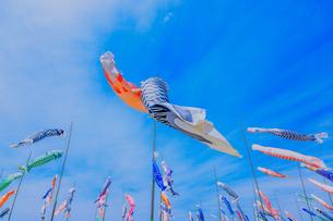 青空を泳ぐ鯉のぼりの写真素材 [FYI04605069]