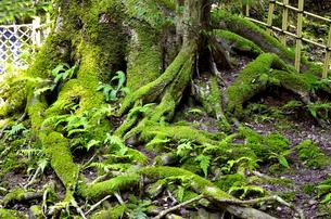 大木の根元を包む美しい緑の苔の写真素材 [FYI04605122]