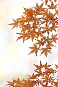 黄葉の写真素材 [FYI04605125]