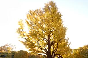 黄葉した木の写真素材 [FYI04605127]