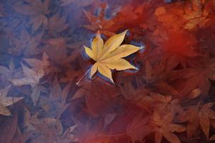 黄葉落葉の写真素材 [FYI04605137]