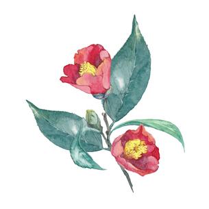 椿の水彩画のイラスト素材 [FYI04605173]