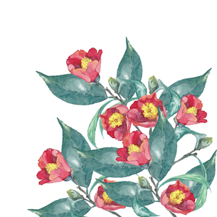 椿の水彩画のイラスト素材 [FYI04605174]