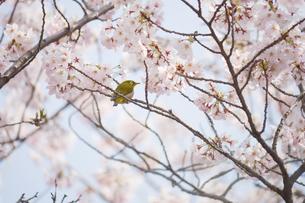 春の満開の桜の木で吸う花を選ぶメジロの写真素材 [FYI04605277]