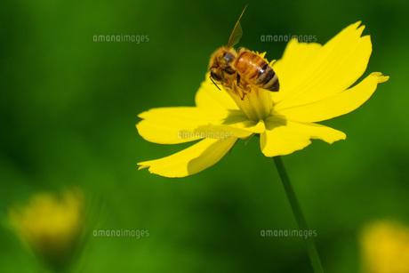 キバナコスモスとハチの写真素材 [FYI04605289]