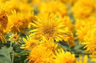 八重咲ヒマワリの花畑の写真素材 [FYI04605471]