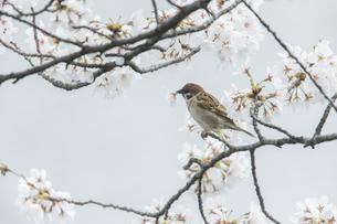花が咲き誇る桜の枝で蜜をついばむスズメの写真素材 [FYI04605597]