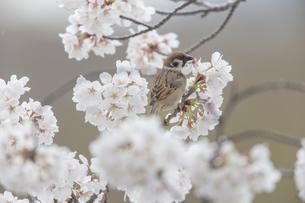 花が咲き誇る桜の枝で蜜をついばむスズメの写真素材 [FYI04605601]