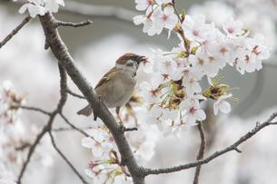 花が咲き誇る桜の枝で蜜をついばむスズメの写真素材 [FYI04605610]