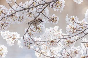 花が咲き誇る桜の枝で蜜をついばむスズメの写真素材 [FYI04605646]