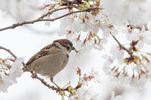 花が咲き誇る桜の枝で蜜をついばむスズメの写真素材 [FYI04605660]