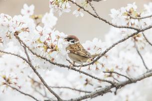 花が咲き誇る桜の枝に止まるスズメの写真素材 [FYI04605689]
