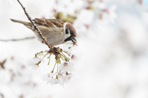 花が咲き誇る桜の枝で蜜をついばむスズメの写真素材 [FYI04605715]